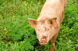 Calleva Farm Pig